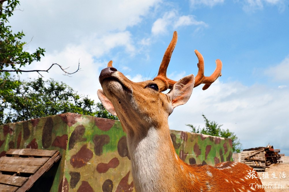 在大坵遇見梅花鹿